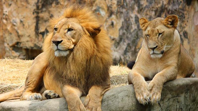 antalya-hayvanat-bahcesi-aslan-puma