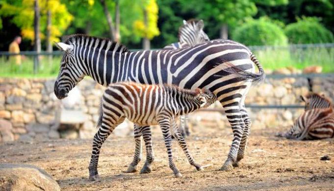 antalya-hayvanat-bahcesi-zebra